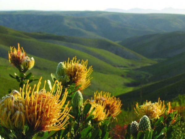 protea suikerbossie