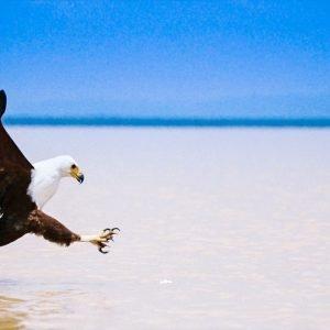 Visarend boven Lake Malawi