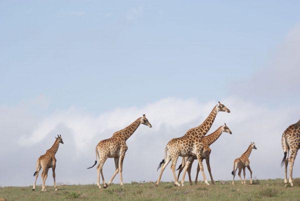 amakhala giraffen