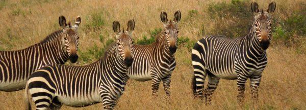 amakhala zebra