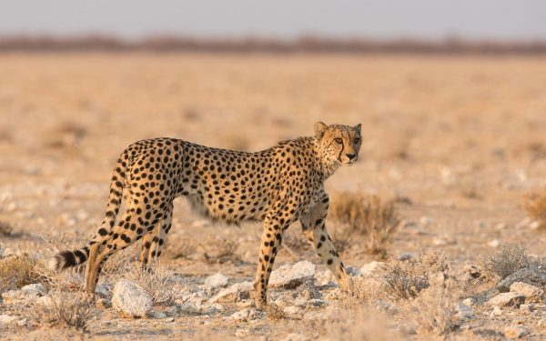 cheetah jachtluipaard