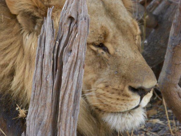 Chobe National Park leeuw