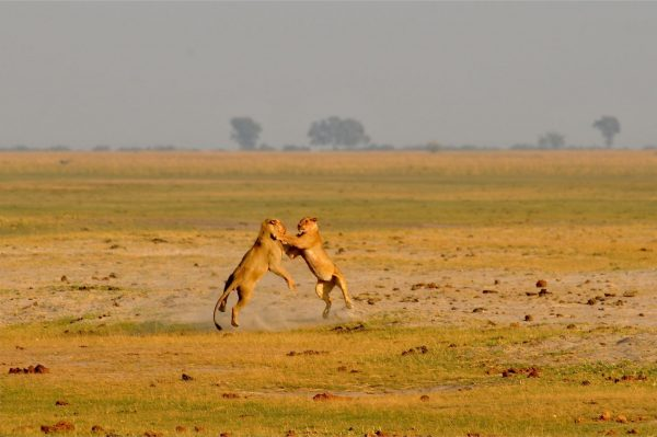 Leeuwen in Chobe