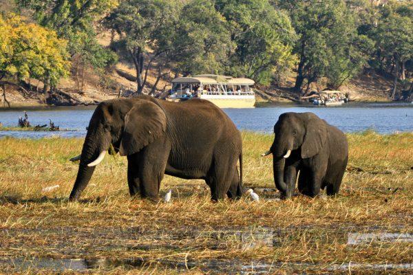 chobe river olifanten