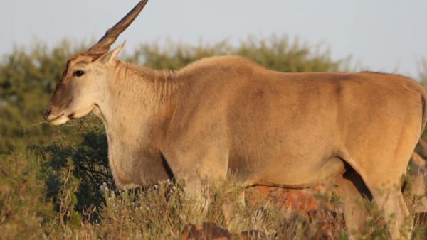 eland antilope mokala