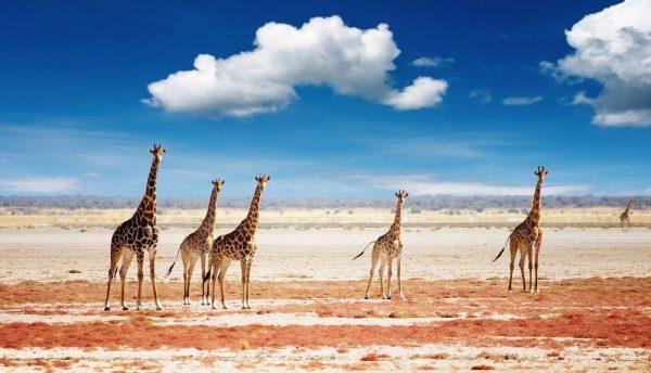 etosha giraf