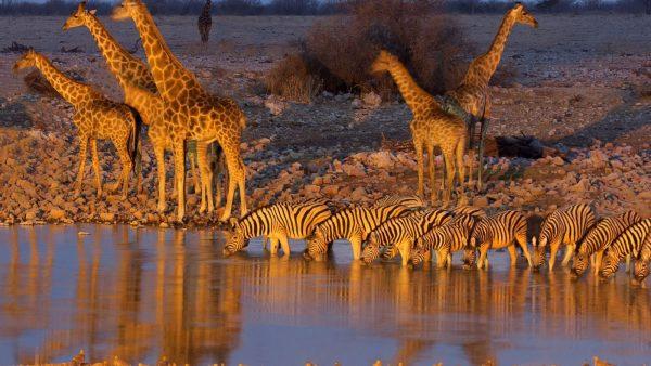 etosha national park zebra giraf