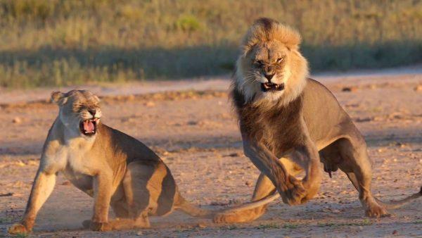 kgalagadi leeuwen