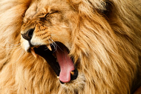 geeuwende leeuw