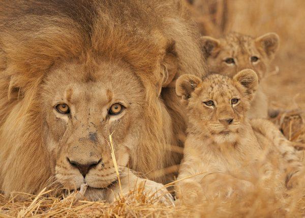 Leeuw welpjes in Kruger Park
