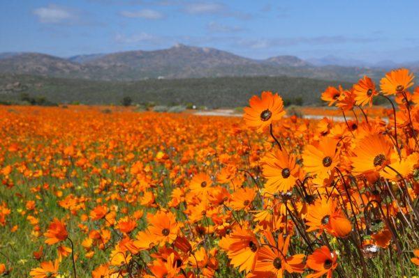 Namaqualand bloemenseizoen