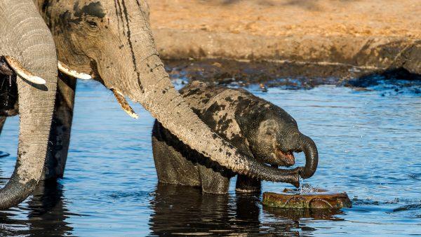 olifant chobe