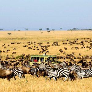 Safari voertuig tussen de zebra's