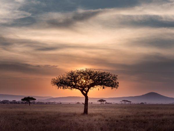 acacia serengeti