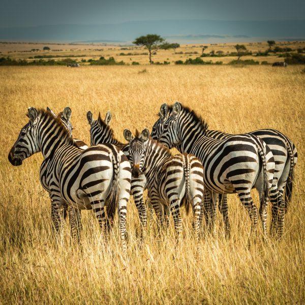 serenegeti zebra