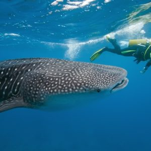 whale shark walvishaai