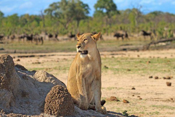 leeuwin hwange zimbabwe