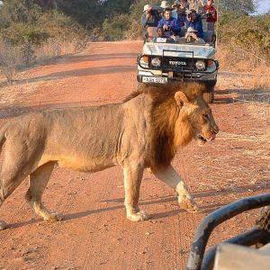 Zambia South Luangwa overstekende leeuw