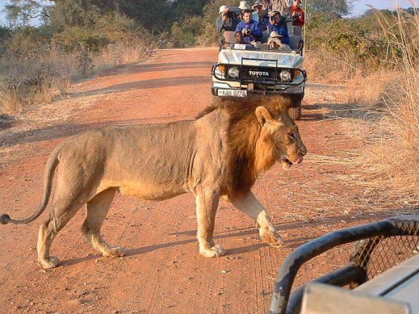 Zambia South Luangwa leeuw
