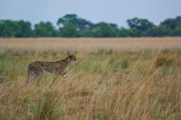 cheetah op de vlaktes van Kafue NP in Zambia