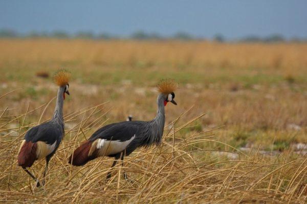 soorten vogels in west zambia