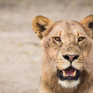 Leeuw in Chobe NP