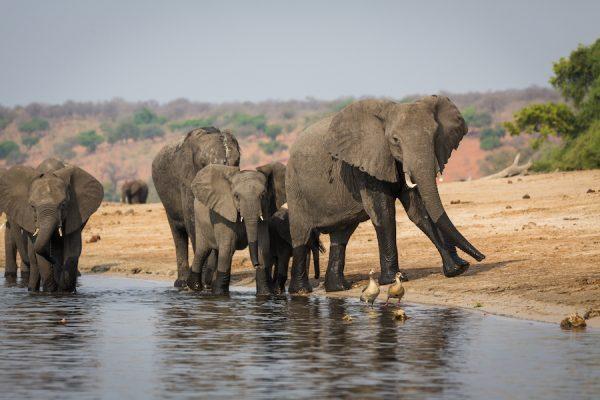 Olifanten bij Chobe Rivier