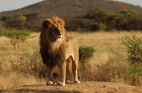 leeuw in de serengeti