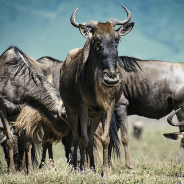 Gnoes wildebeest