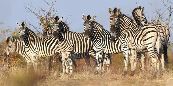 Zebra Hwange Zimbabwe