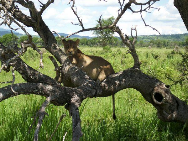 Leeuw in boom Mukumi NP