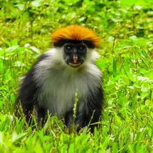 red colobus Udzungwa