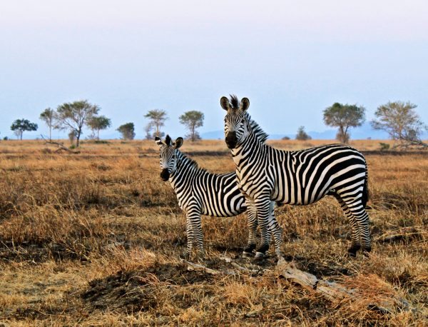 Zebra's in Mikumi National Park op een privé reis door Zuid Tanzania